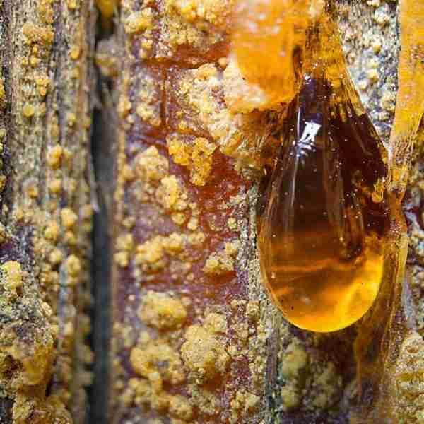 albero dell'ambra
